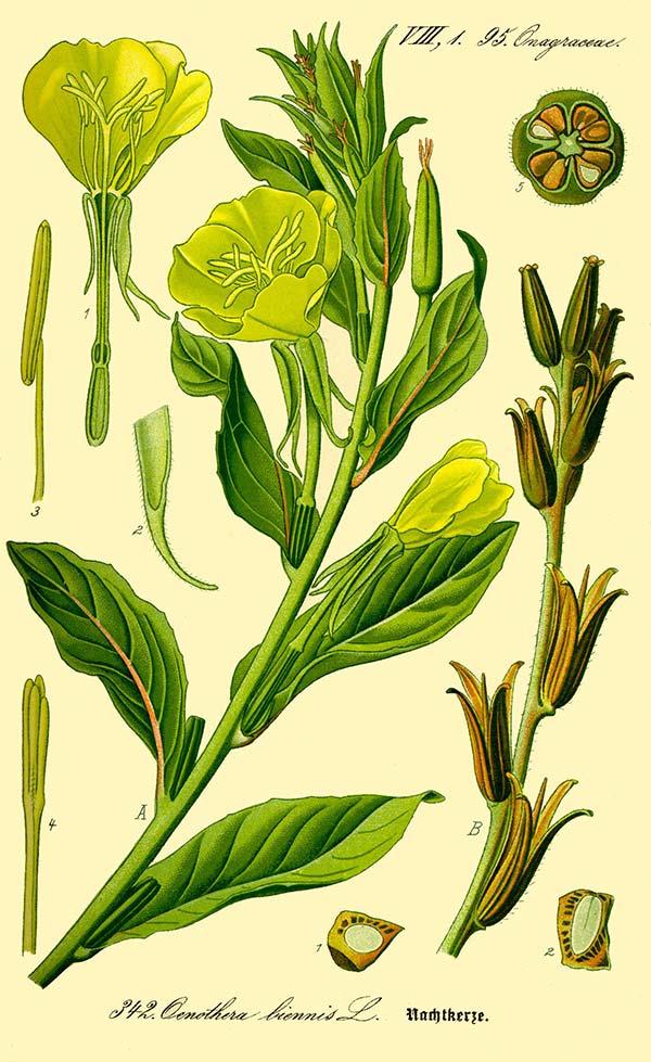 Evening-primrose