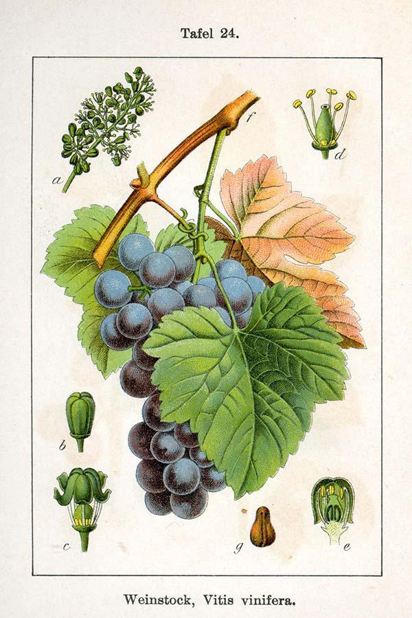 Red-vine